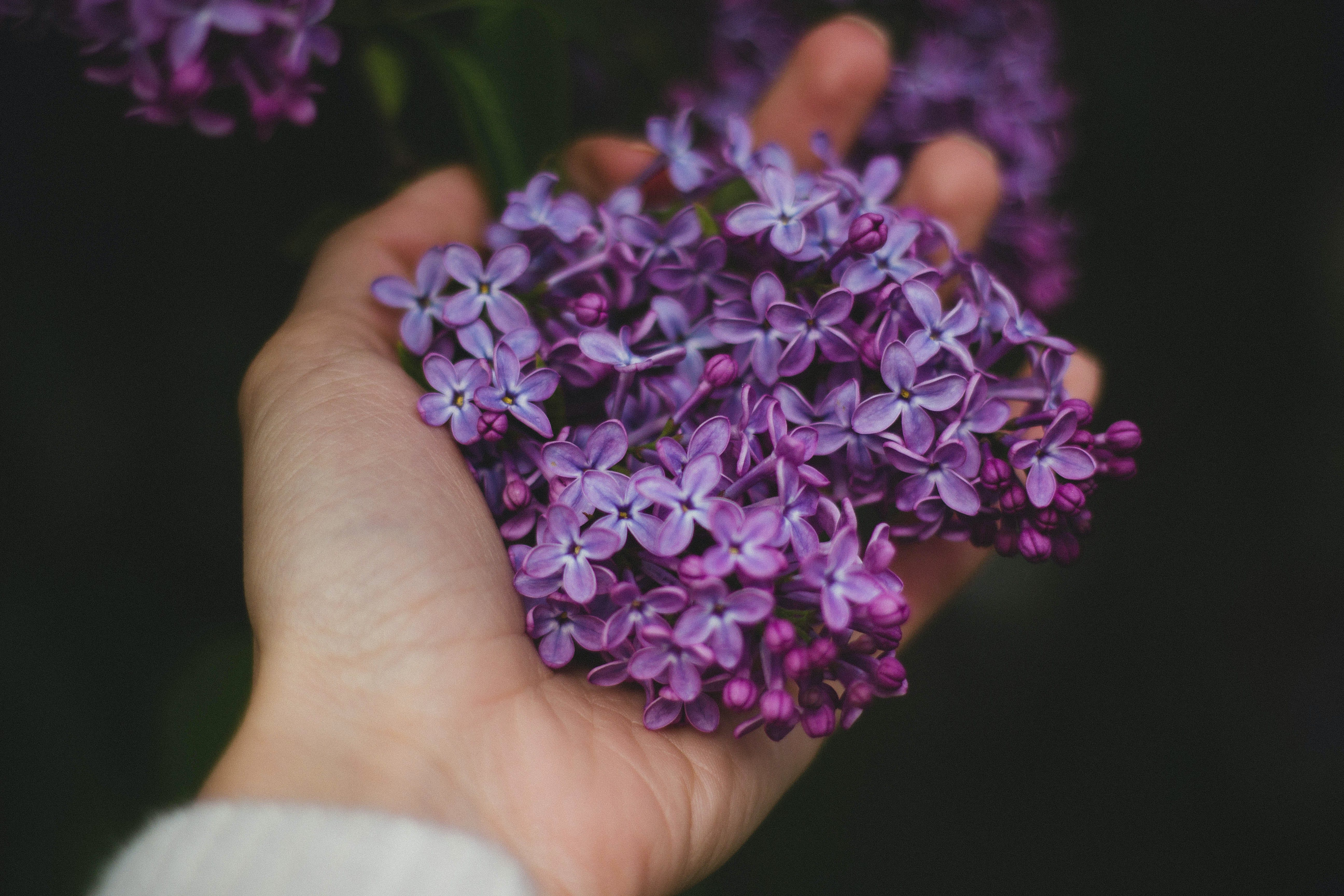 flowers, hand, lavender