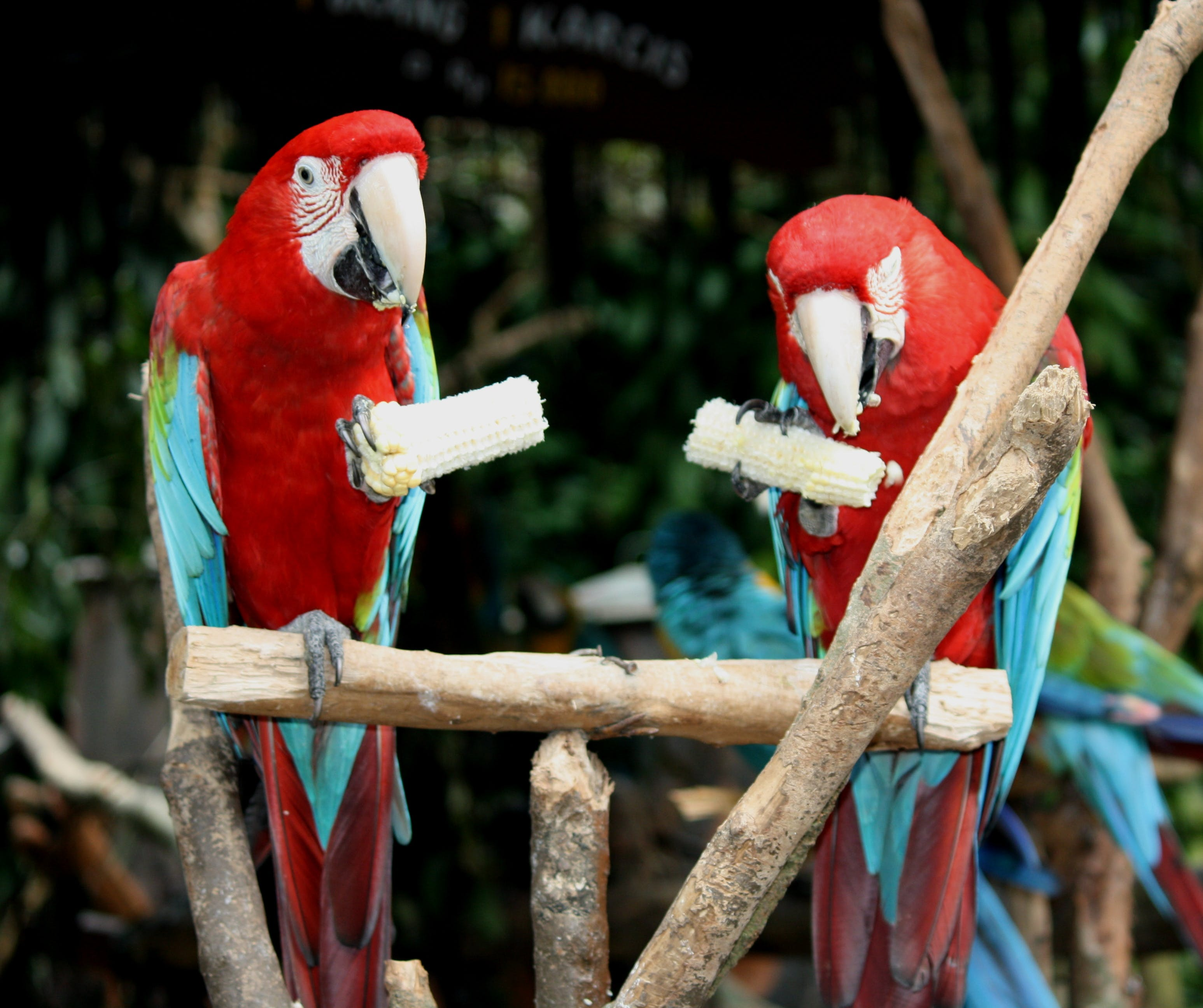 Two Red-and-blue Parrot Standing on Brown Wooden Stick