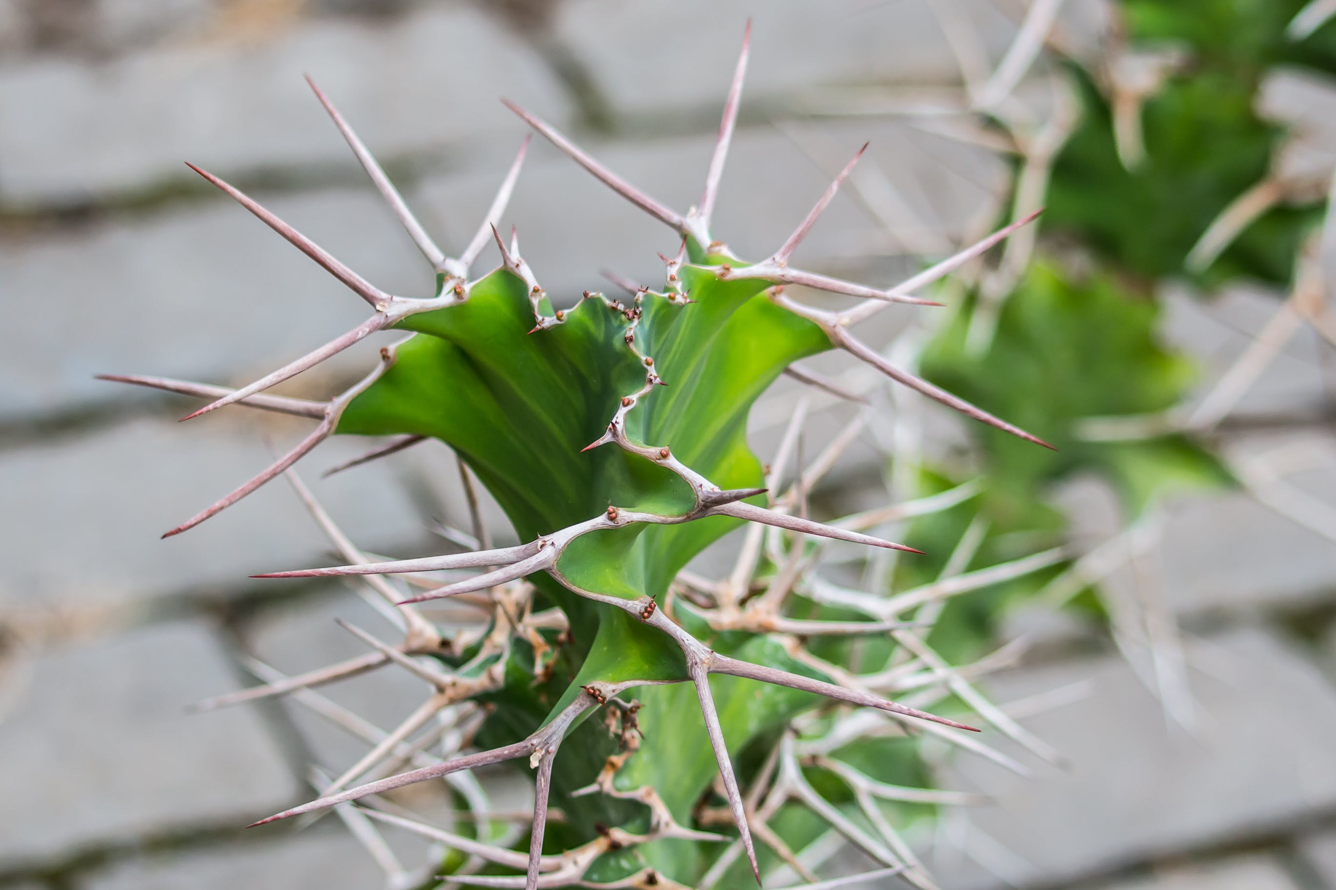 Free stock photo of cactus, thorn
