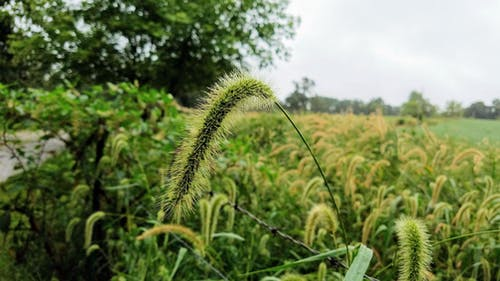Free stock photo of Field of FoxTails, foxtail, misty, wet grass