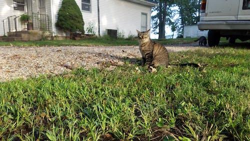 Ilmainen kuvapankkikuva tunnisteilla kissa, märkä ruoho, soran ajotieltä, tiikerikissa