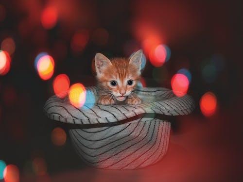 動物愛好者, 動物攝影, 動物肖像, 小貓 的 免費圖庫相片
