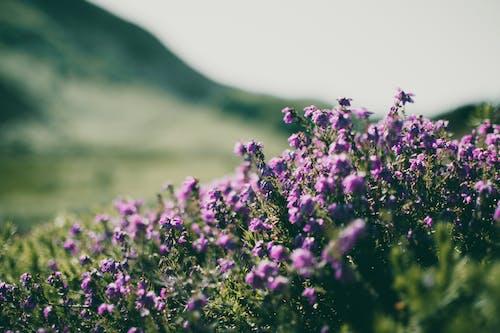 Darmowe zdjęcie z galerii z dziki, dziki kwiat, dzikie kwiaty, fioletowy