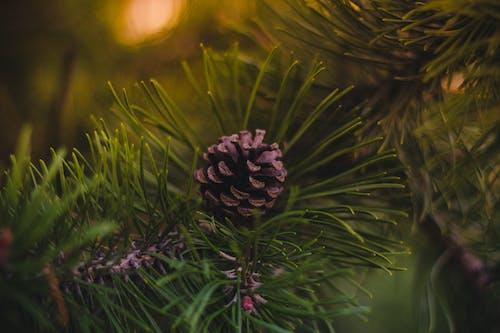 Ingyenes stockfotó fenyőtoboz, Karácsony, karácsonyfa, makk témában