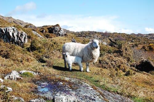 動物, 天性, 羊 的 免费素材照片