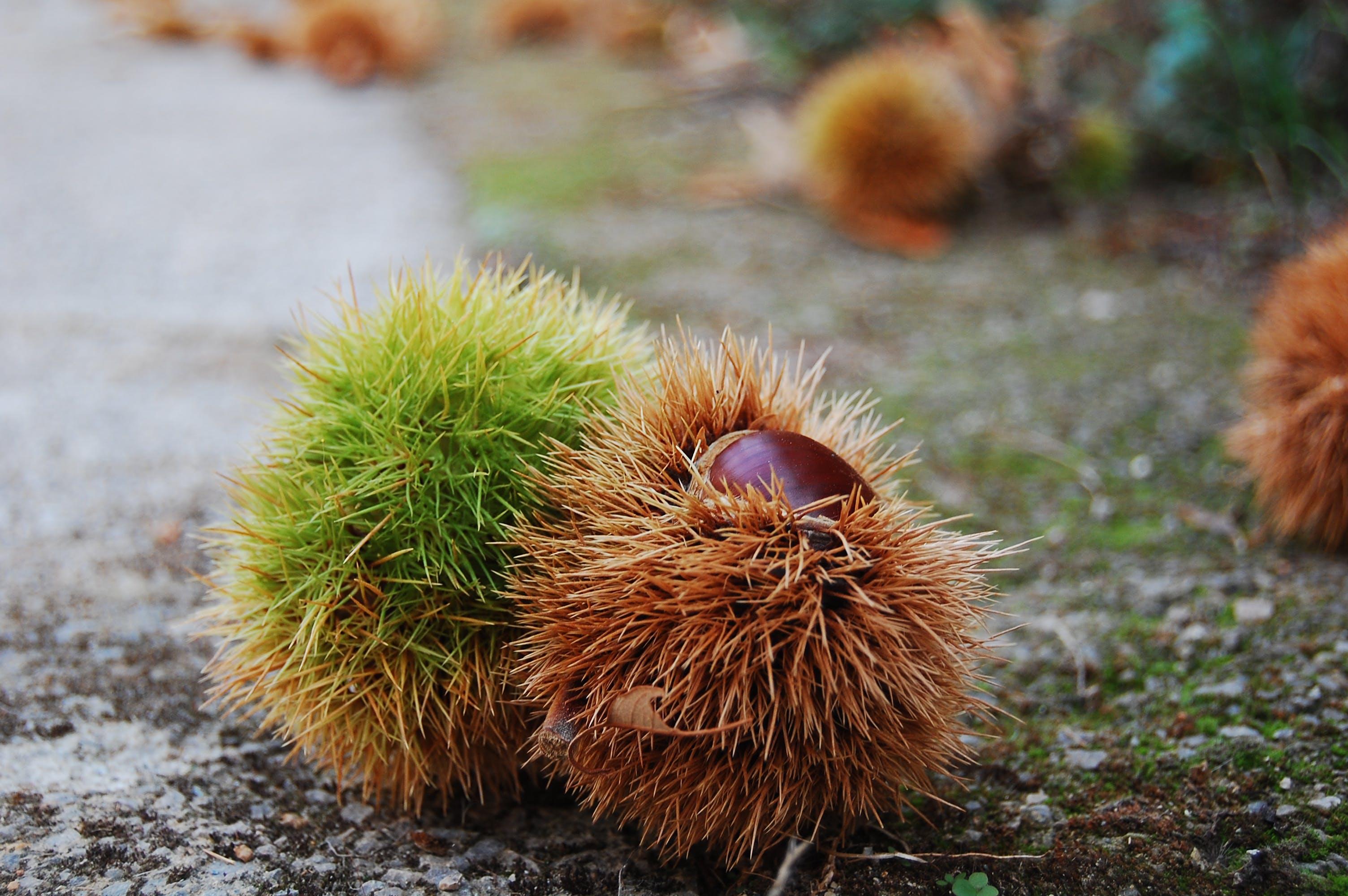 Free stock photo of autumn, chestnut