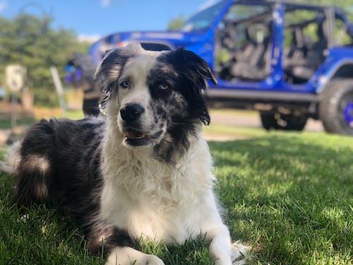 Бесплатное стоковое фото с австралиец, джип, собака