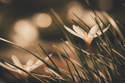 Selective Focus Photography of White Crocus Flower