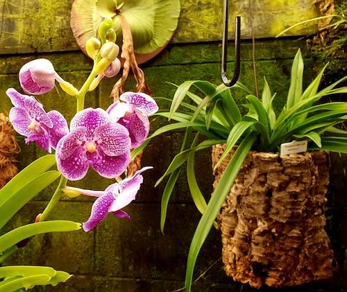 Бесплатное стоковое фото с изображение, милый цветок, оранжерея, орхидея