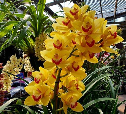 Photos gratuites de jaune doré, jaune vibrant, orchidée, orchidée jaune