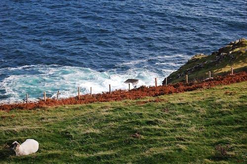 海, 海岸, 稻田, 羊 的 免费素材照片