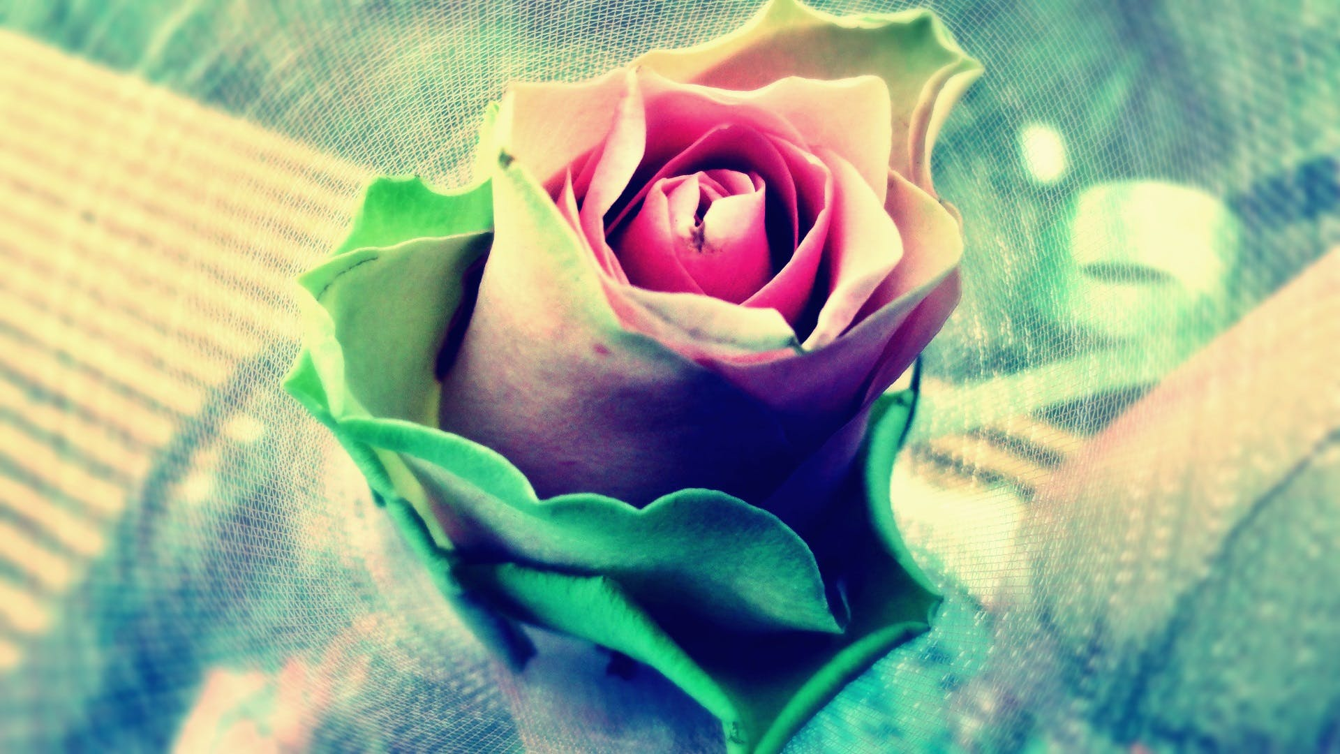 Pink Green and White Rose