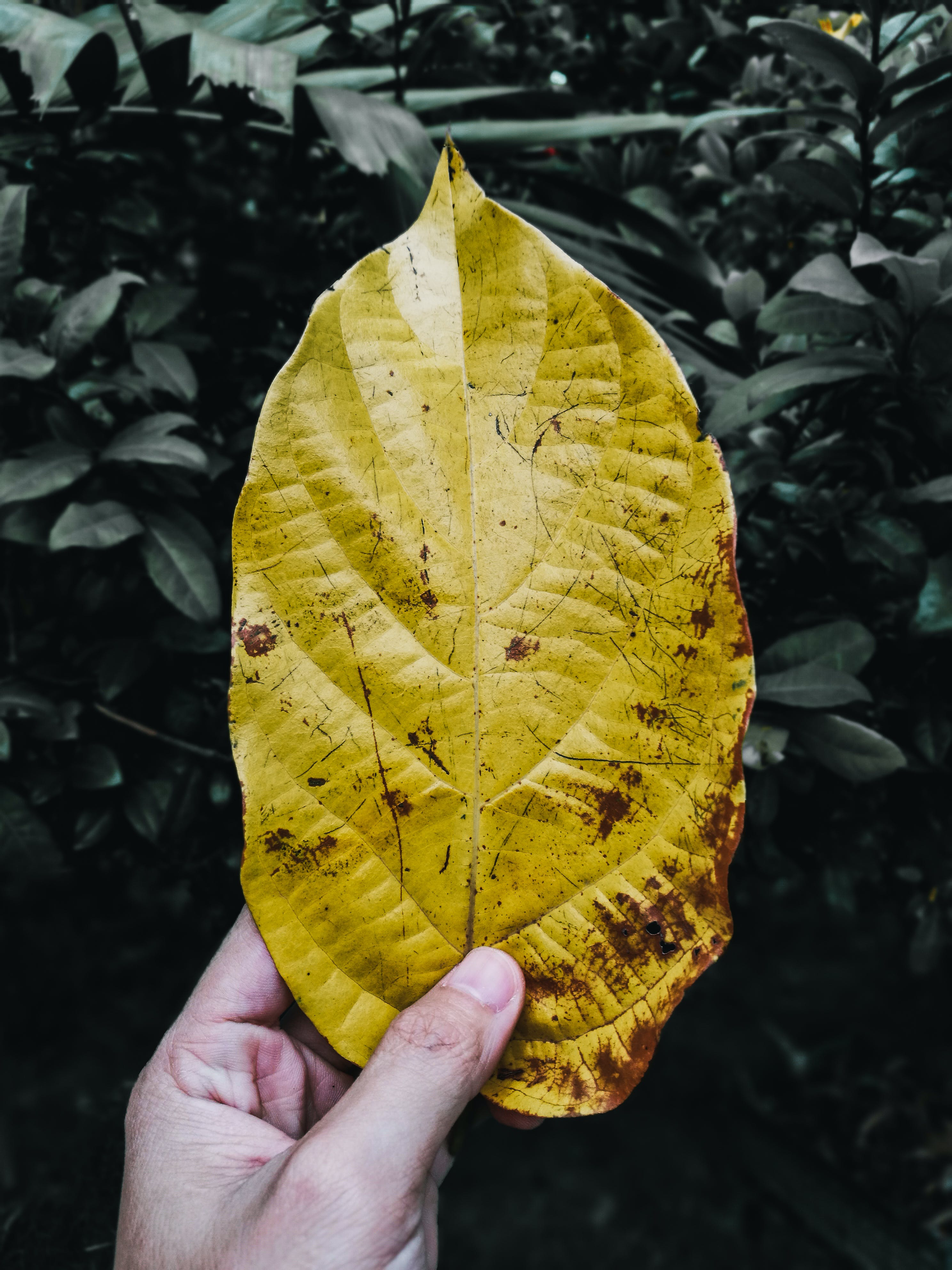 Person Holding Yellow Leaf