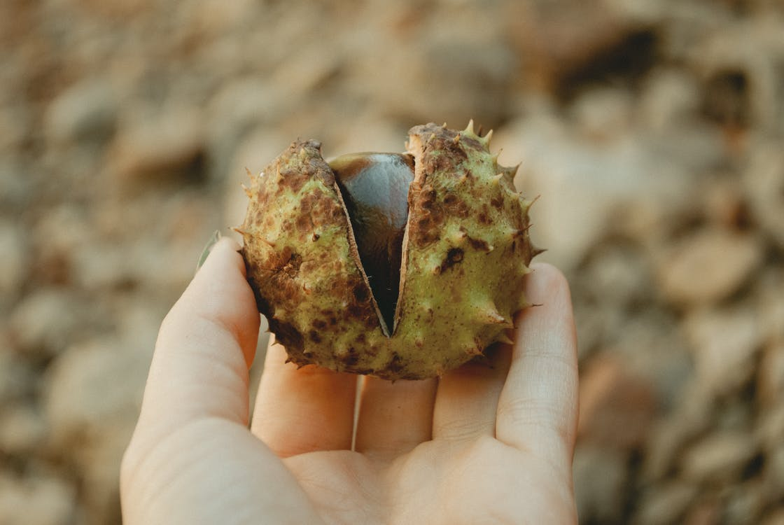 Selective Focus Photography of Person Holding Horse Chestnut