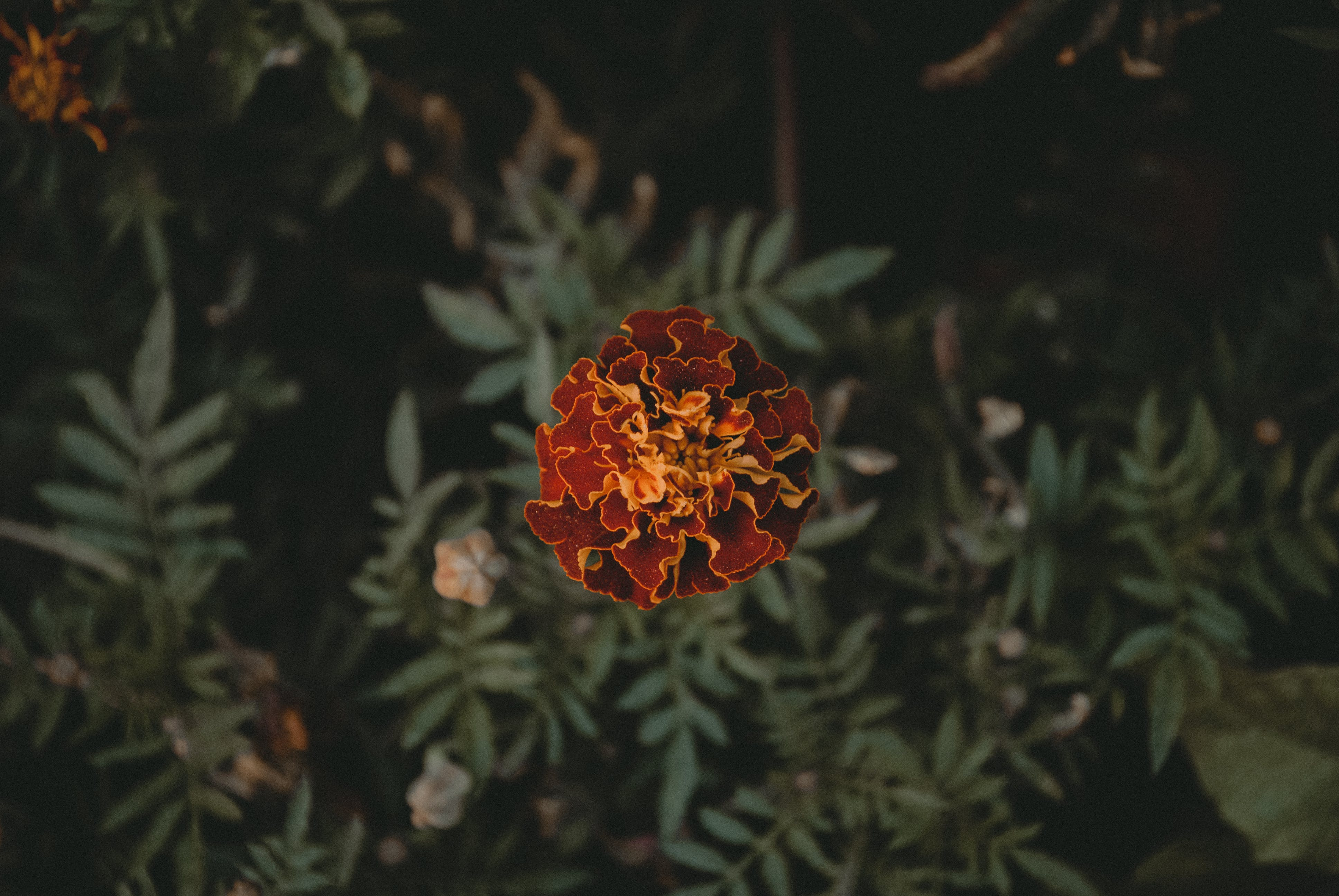 Top View Photo of Red French Marigold Flower
