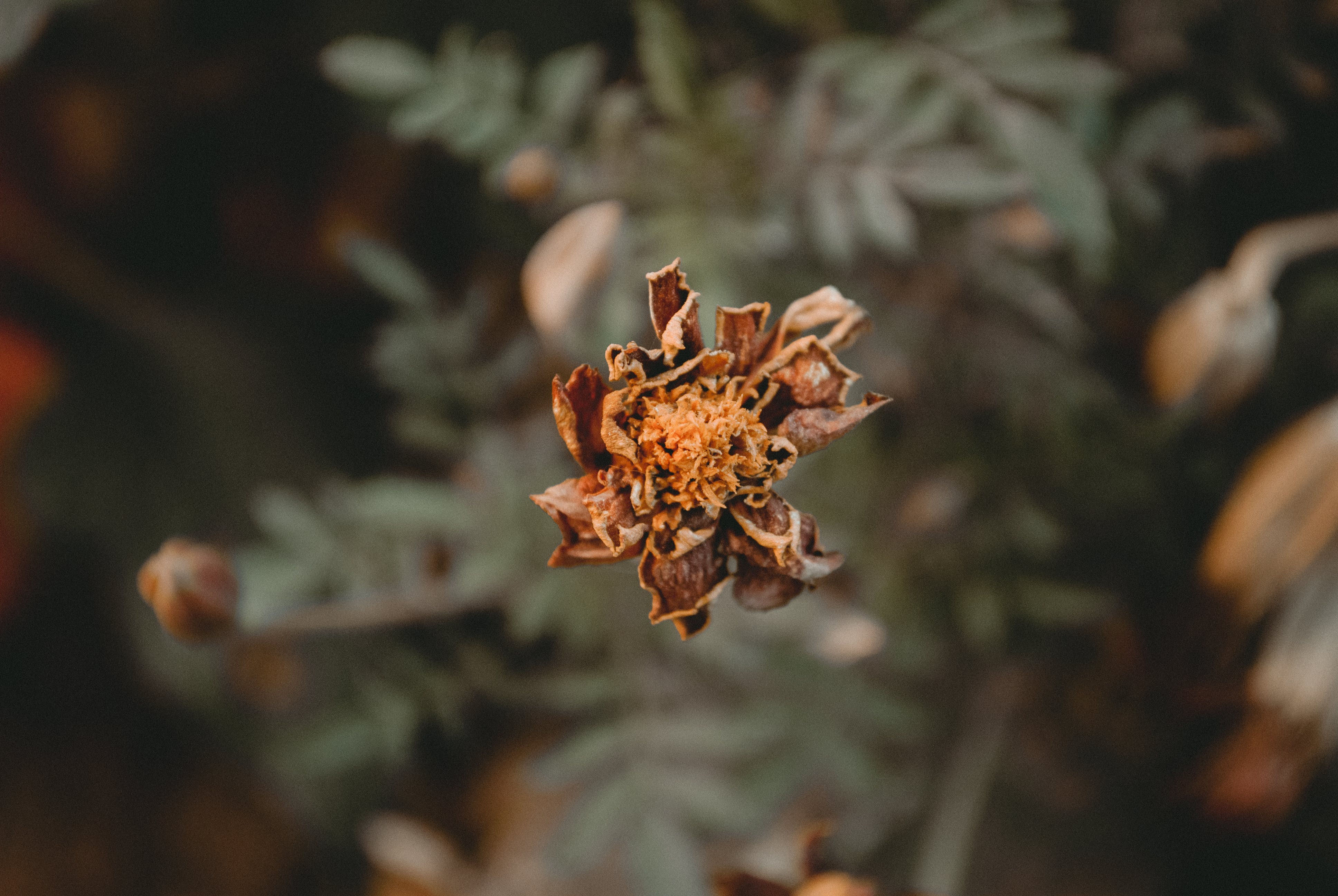 Dried Brown Marigold Flower Selective-focus Photography