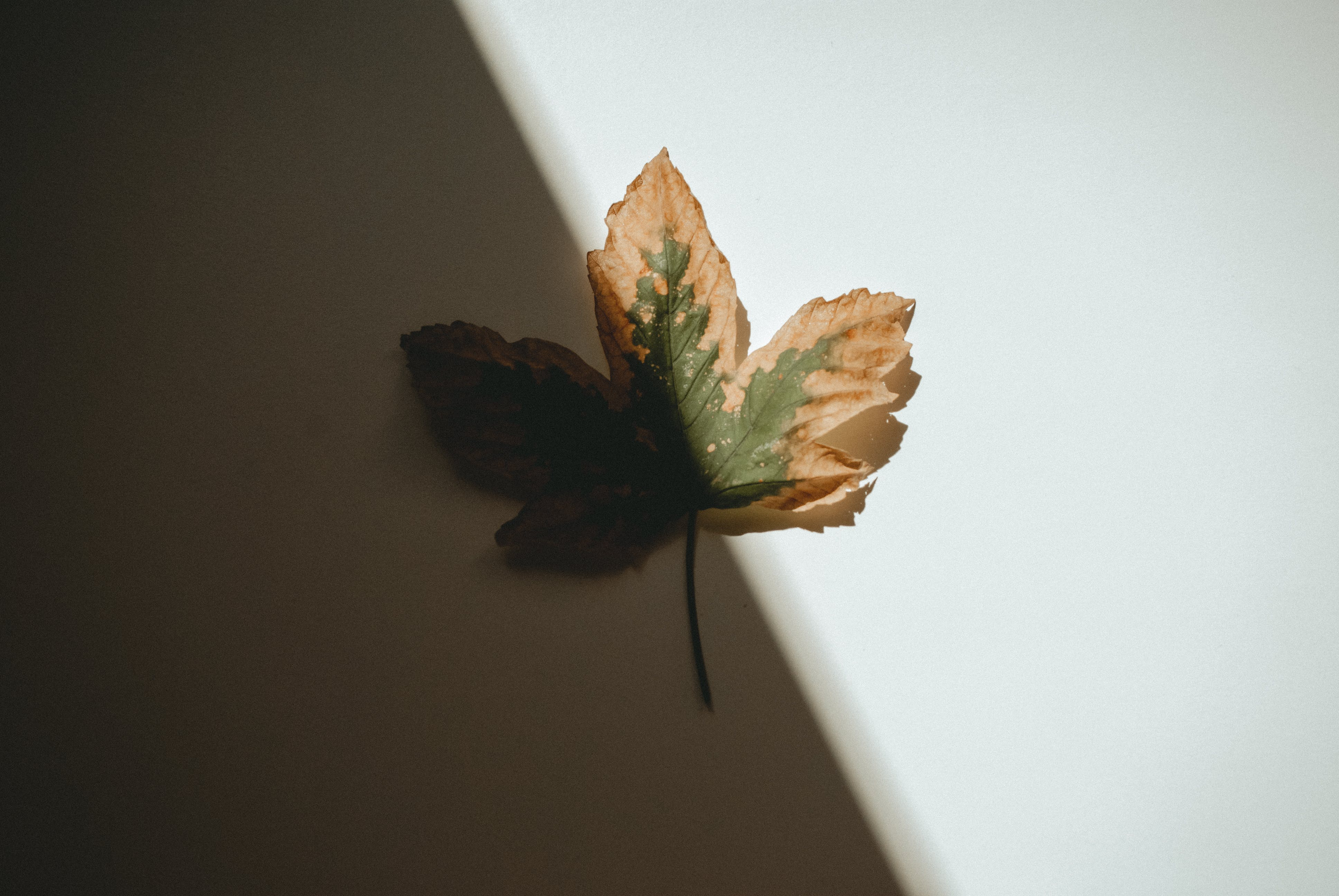 Close-Up Photography of Maple Leaf