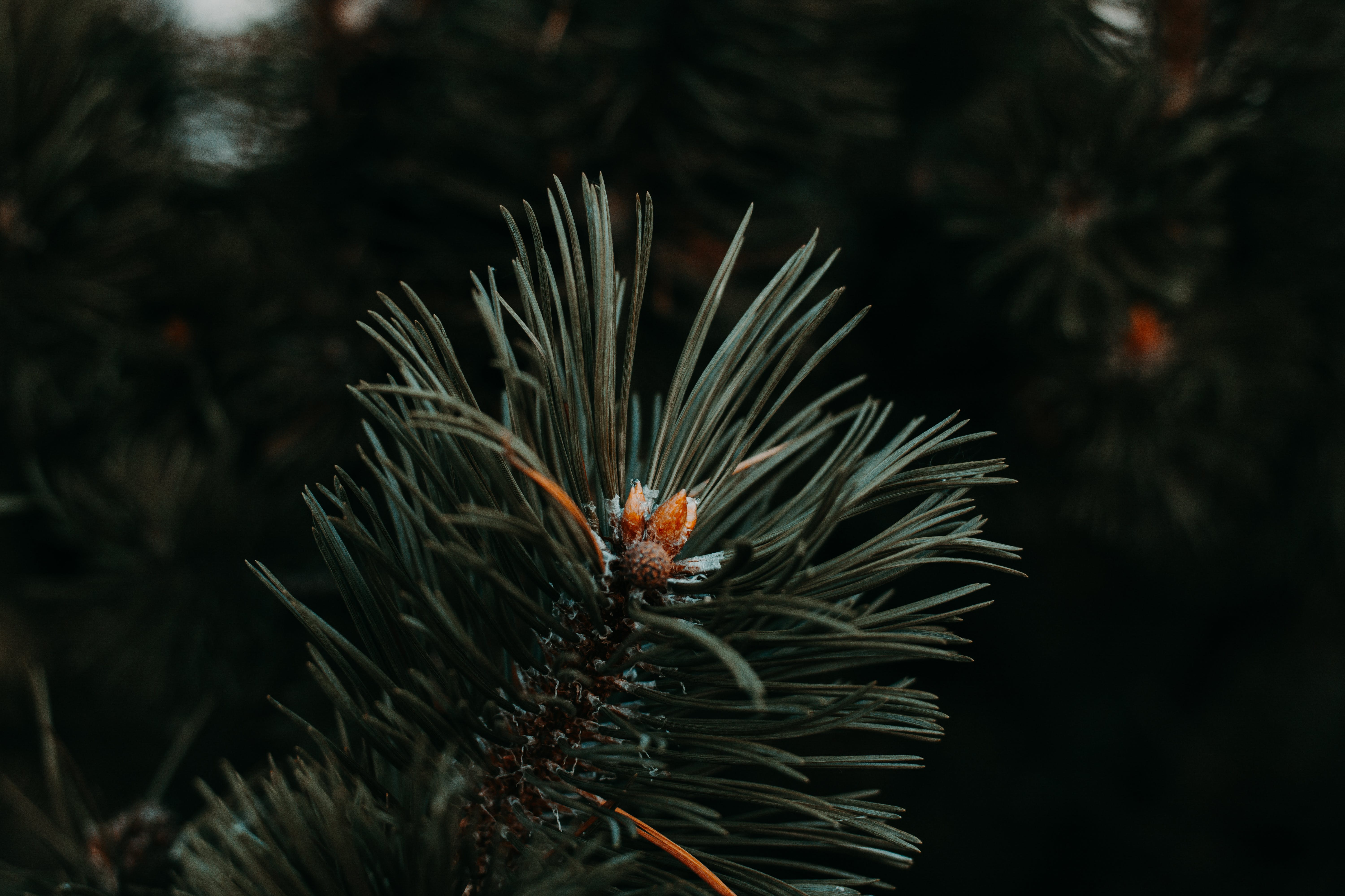 Shallow Focus Photography of Pine Leaves