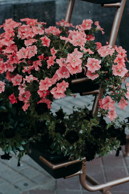 Close-up Photo of Petunia Flowers