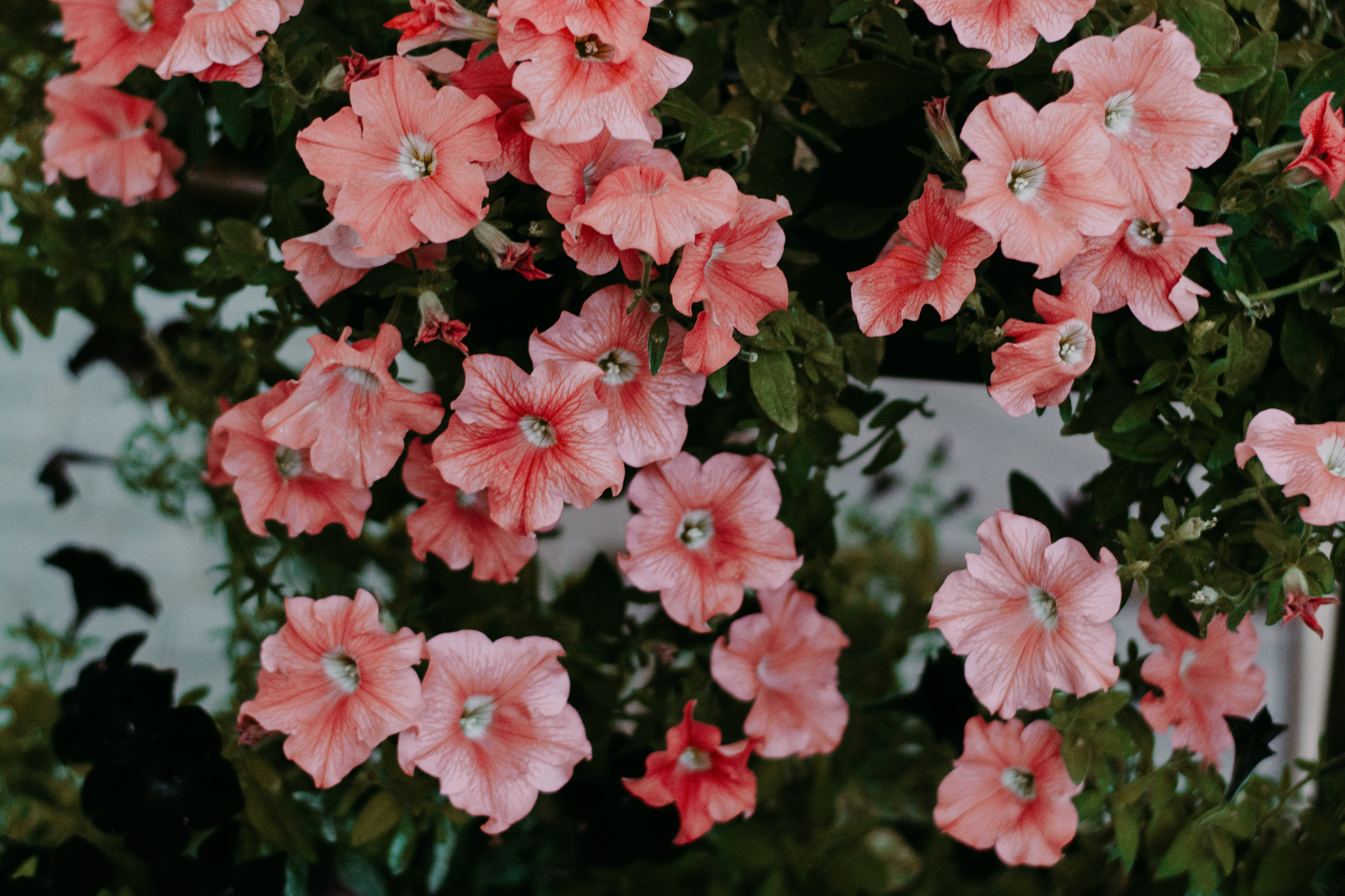 Close-up Photo of Pink Petunia Flowers