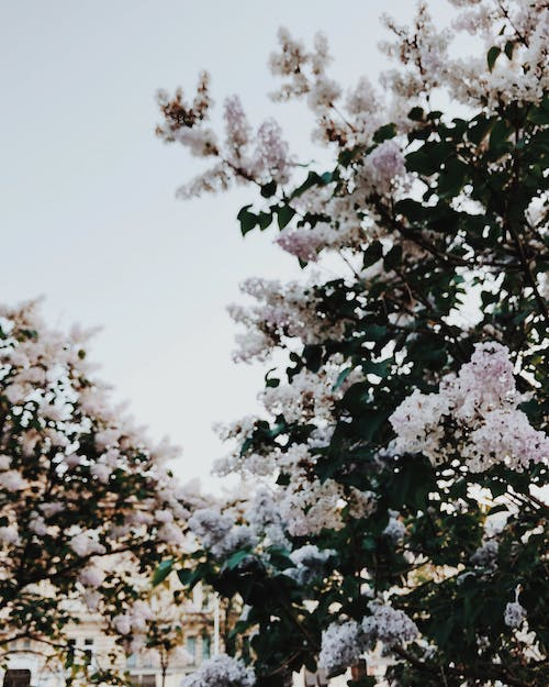 White Sakura Tree