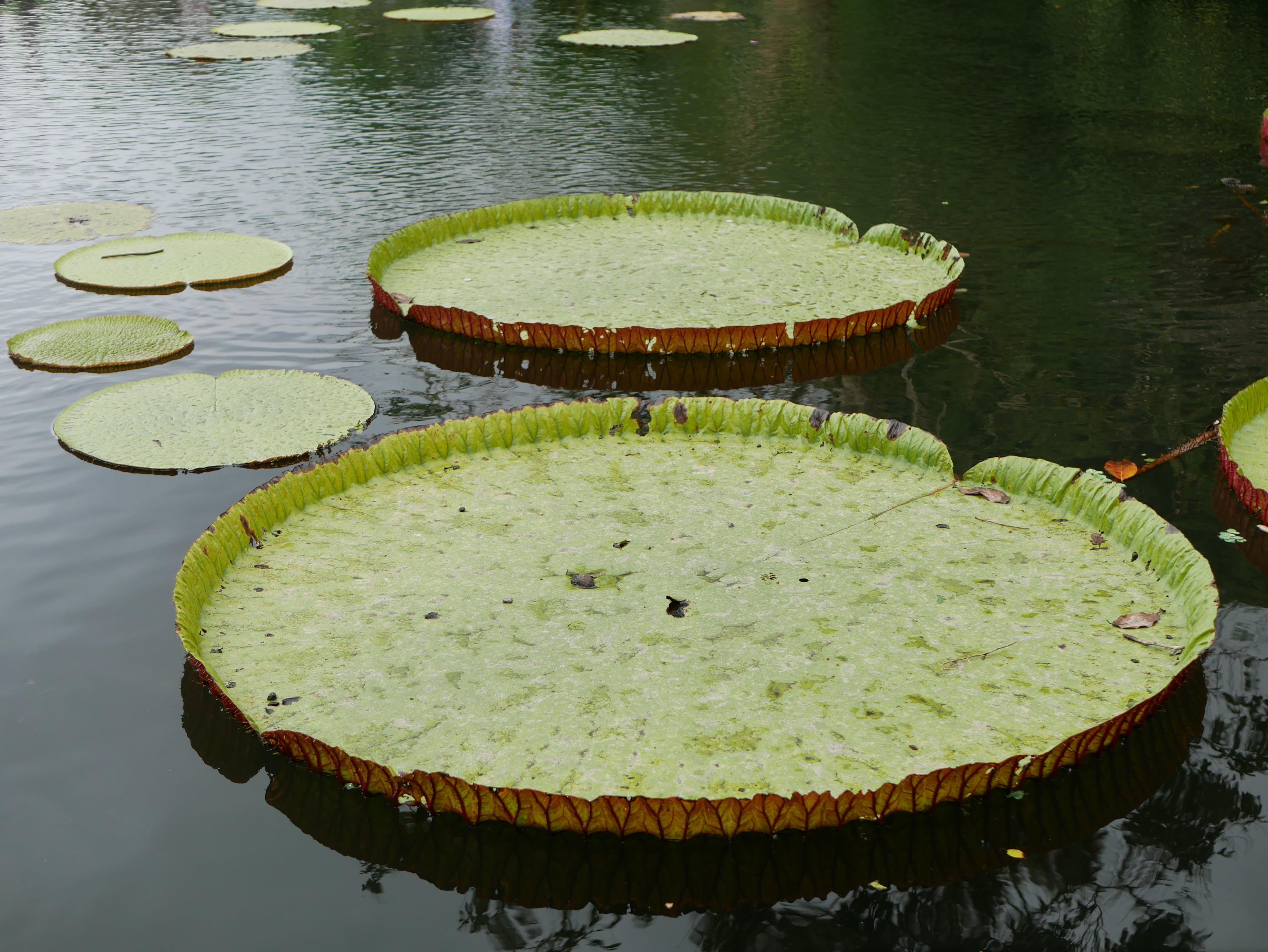 Free stock photo of botanic, exotic, garden, giant