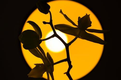 คลังภาพถ่ายฟรี ของ jardim, orquidea, silueta, sombra