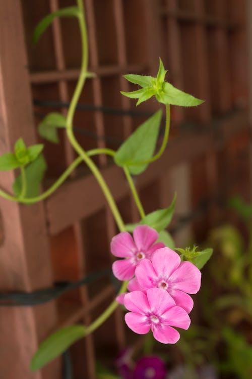 คลังภาพถ่ายฟรี ของ jadim de flores, trepadeira, ดอกไม้, ดอกไม้สวย