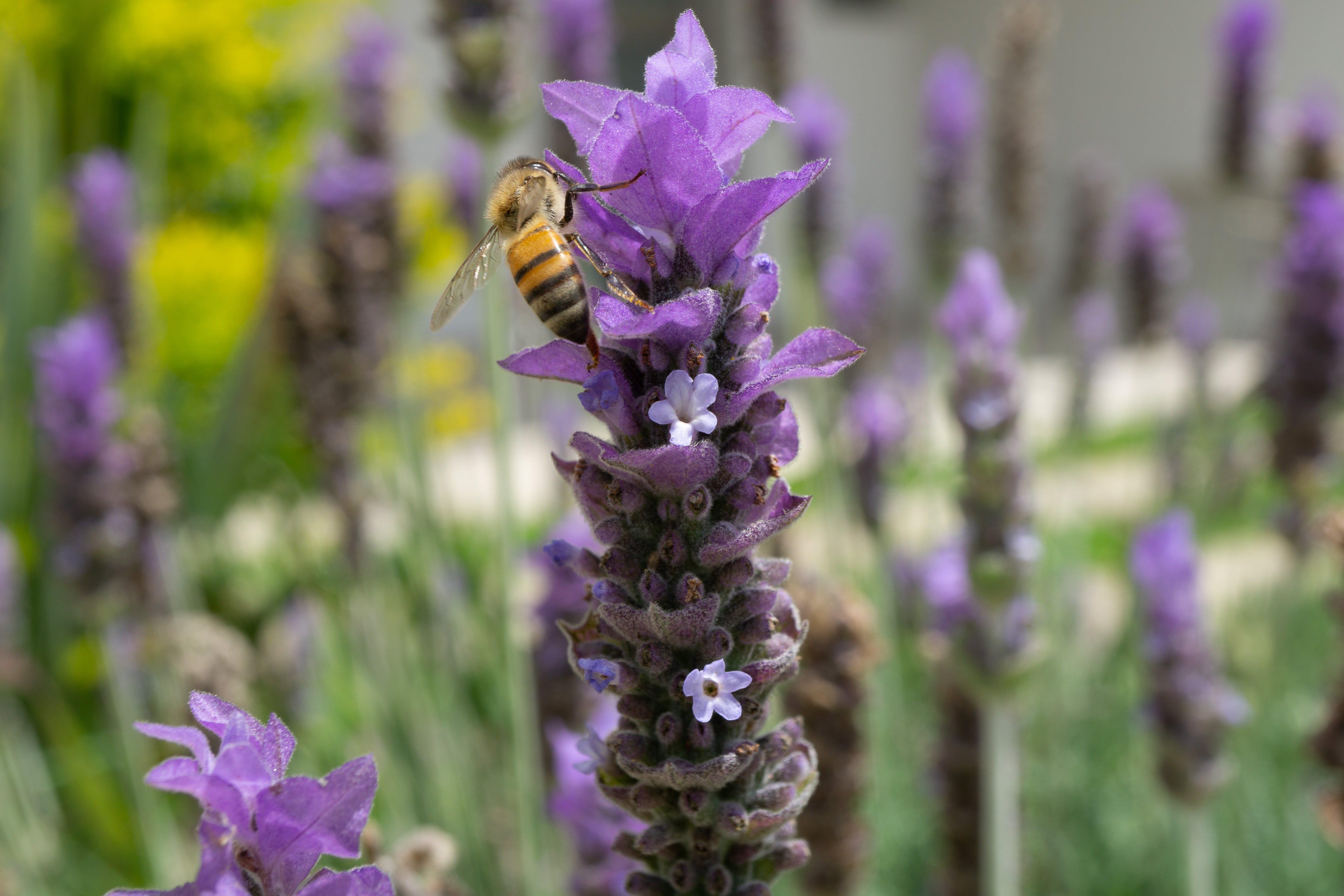 Free stock photo of bee, lavender, macro, macro photography