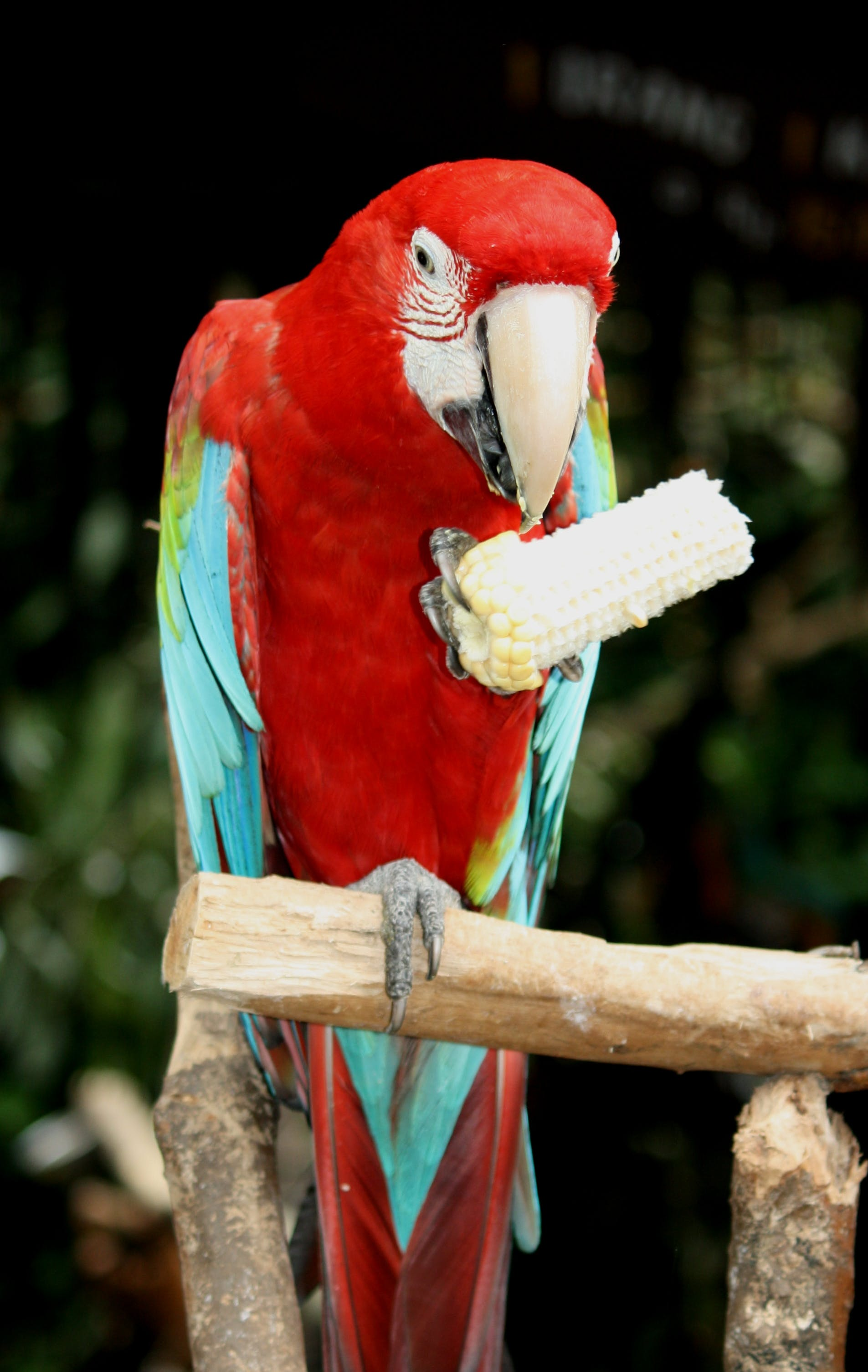 Blue-and-red Macaw Perching on Branch