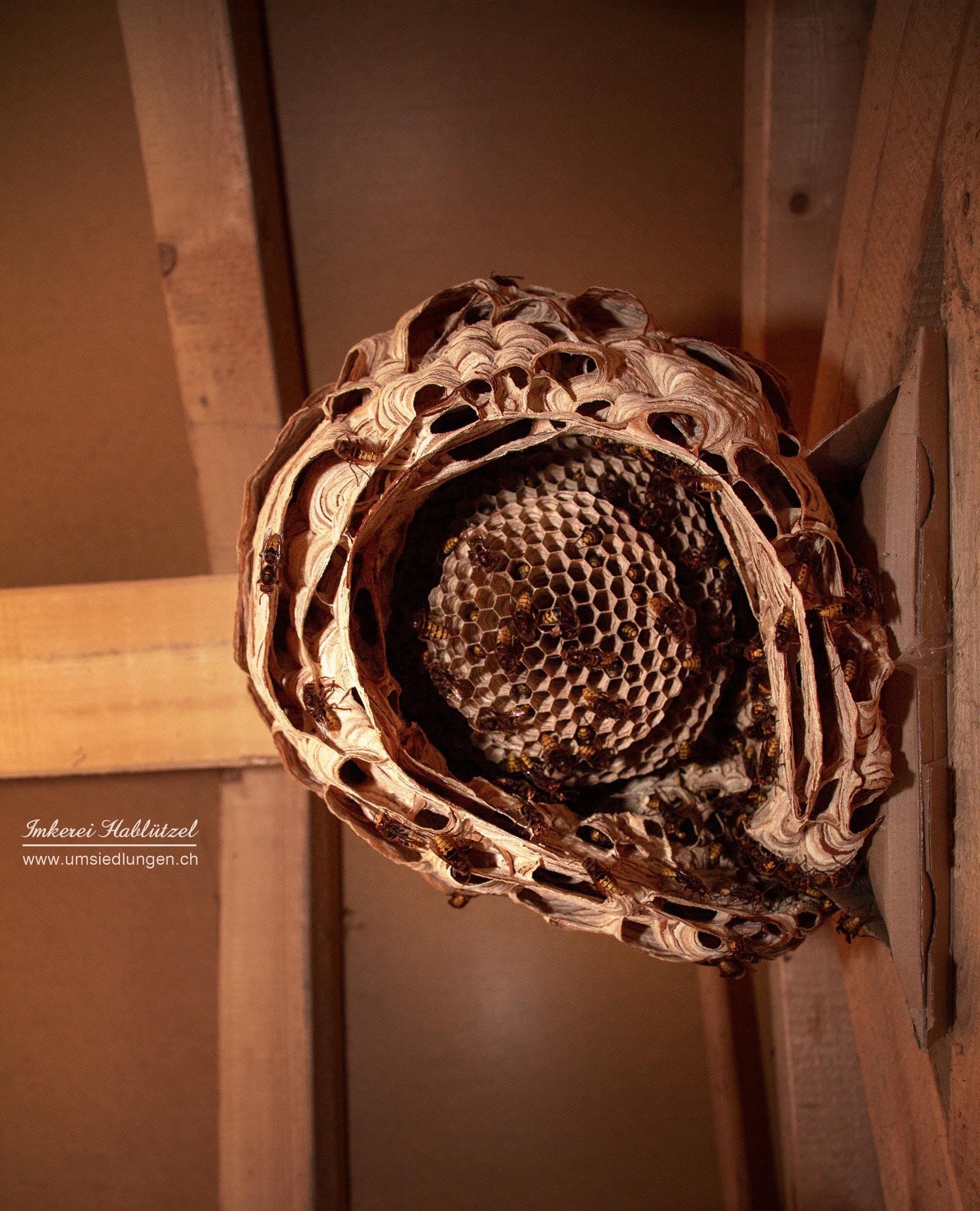 Ảnh lưu trữ miễn phí về còi, côn trùng, tổ ong vò vẽ lớn