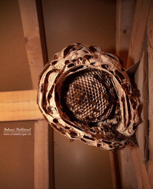 Free stock photo of hornet, hornet nest, hornets, insects