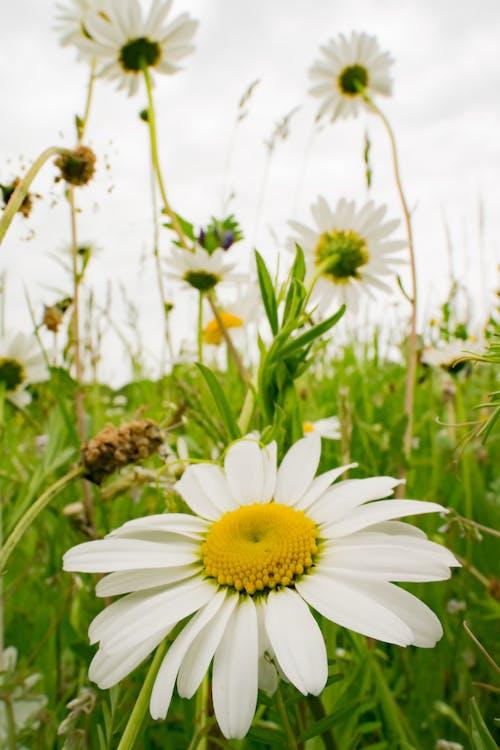 デイジー, フラワーズ, 野の花の無料の写真素材