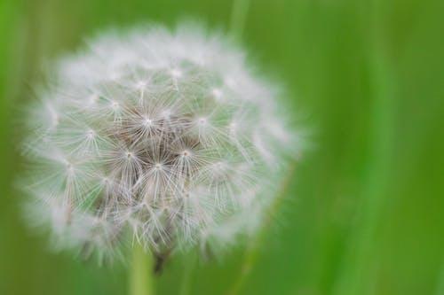 タンポポの種, 白, 緑, 花の無料の写真素材