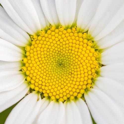 デイジー, マクロ, 白, 花びらの無料の写真素材