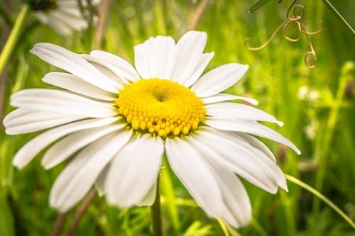 デイジー, 夏, 花, 野の花の無料の写真素材