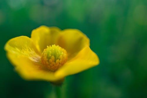 バターカップ, 緑, 花, 黄色の無料の写真素材