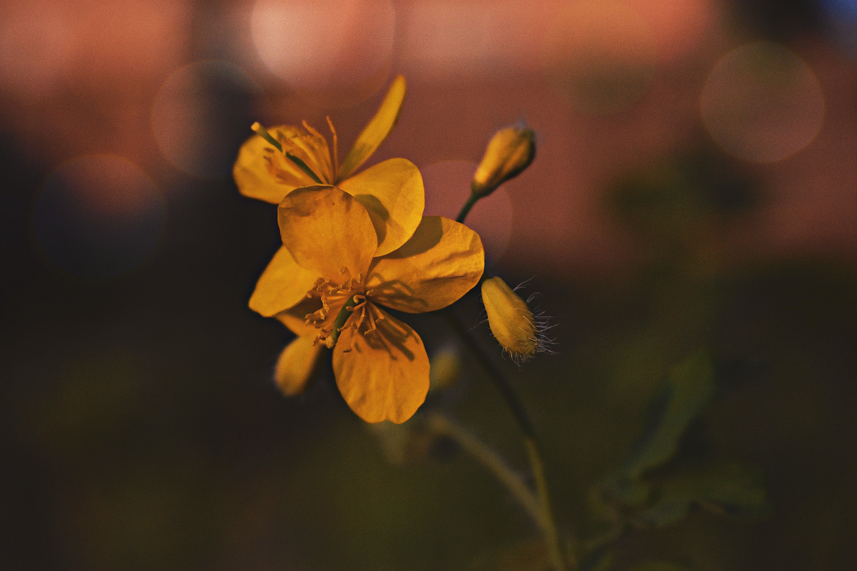 Yellow Evening Primroses Close-up Photography