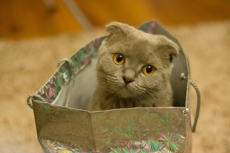 Grey Kitten on Silver Paper Bag