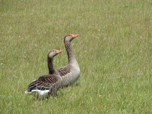 Free stock photo of gooses, grassland