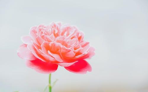 Gratis arkivbilde med årstid, blomst, blomsterblad, delikat