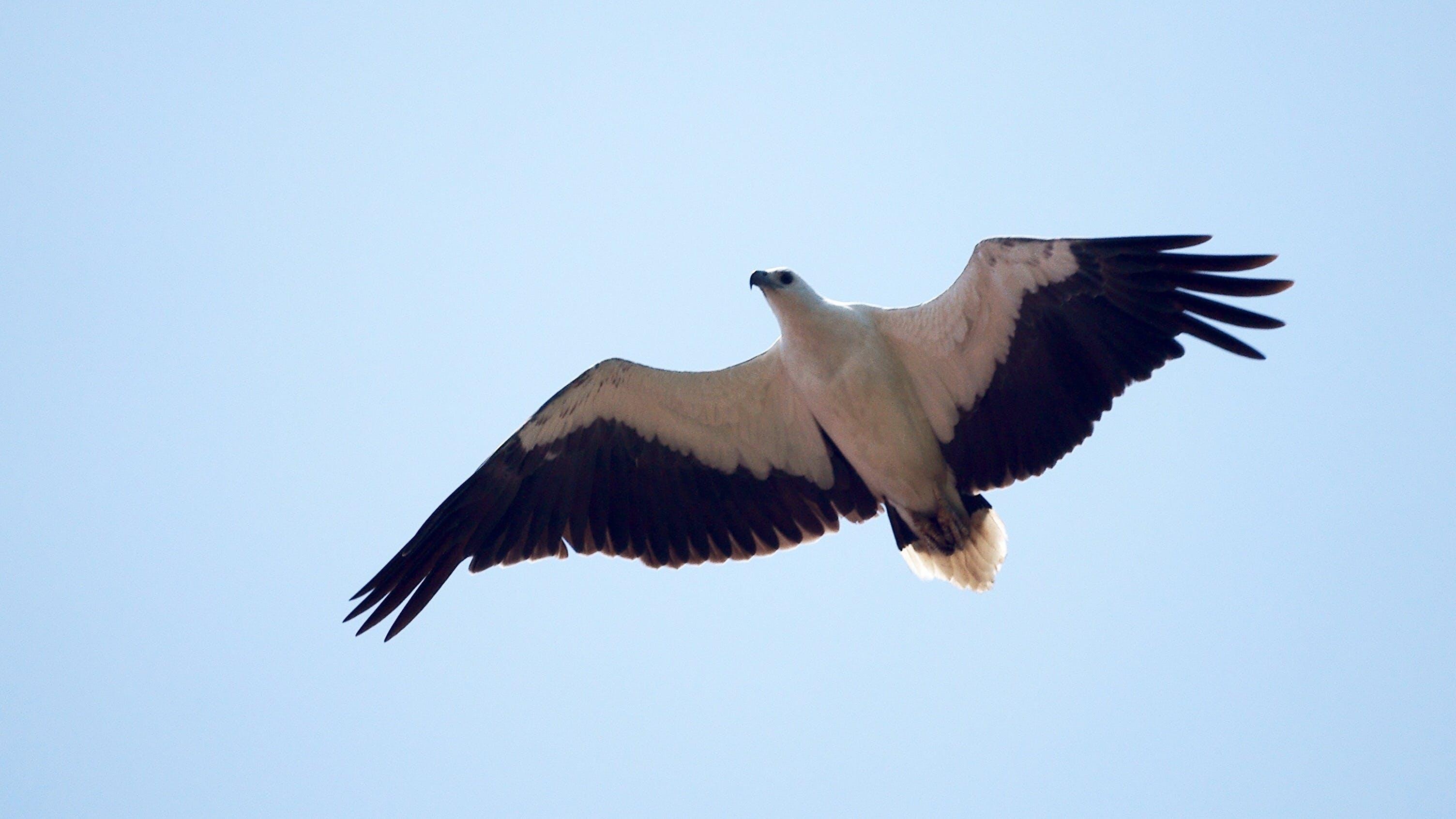 Free stock photo of bird, eagle, nature, sky