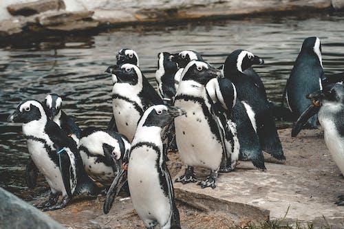 Immagine gratuita di animale, parco con animali, pinguin, zoo