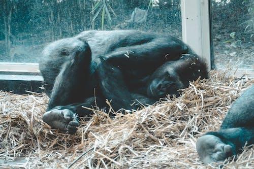 Immagine gratuita di animale, parco con animali, scimmia, zoo