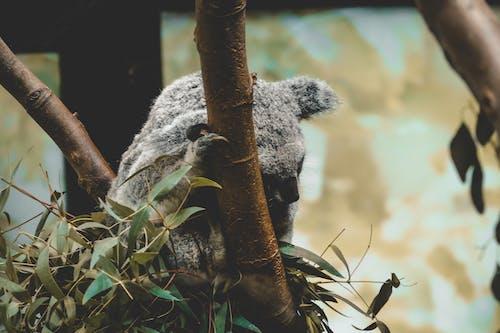 Immagine gratuita di anversa, koala, zoo