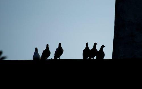 天空, 鳥剪影在屋頂的, 鴿子 的 免費圖庫相片