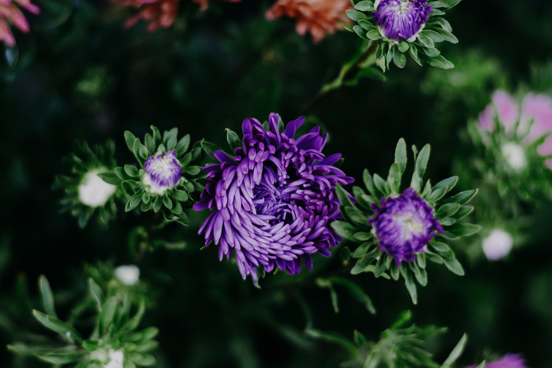 Purple Chrysanthemums Closeup Photography
