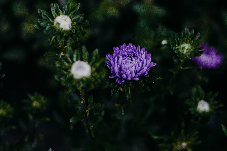Základová fotografie zdarma na téma astry, barva, fialové květiny, fialové květy