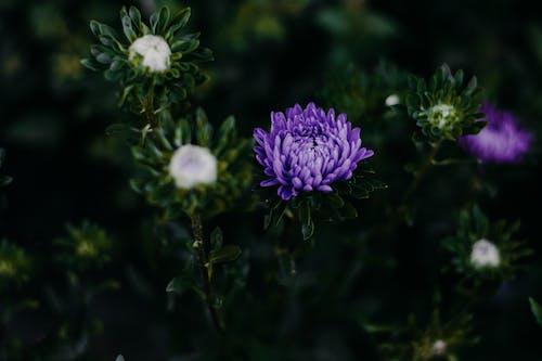 Darmowe zdjęcie z galerii z astry, drzewo, fioletowe kwiaty, flora