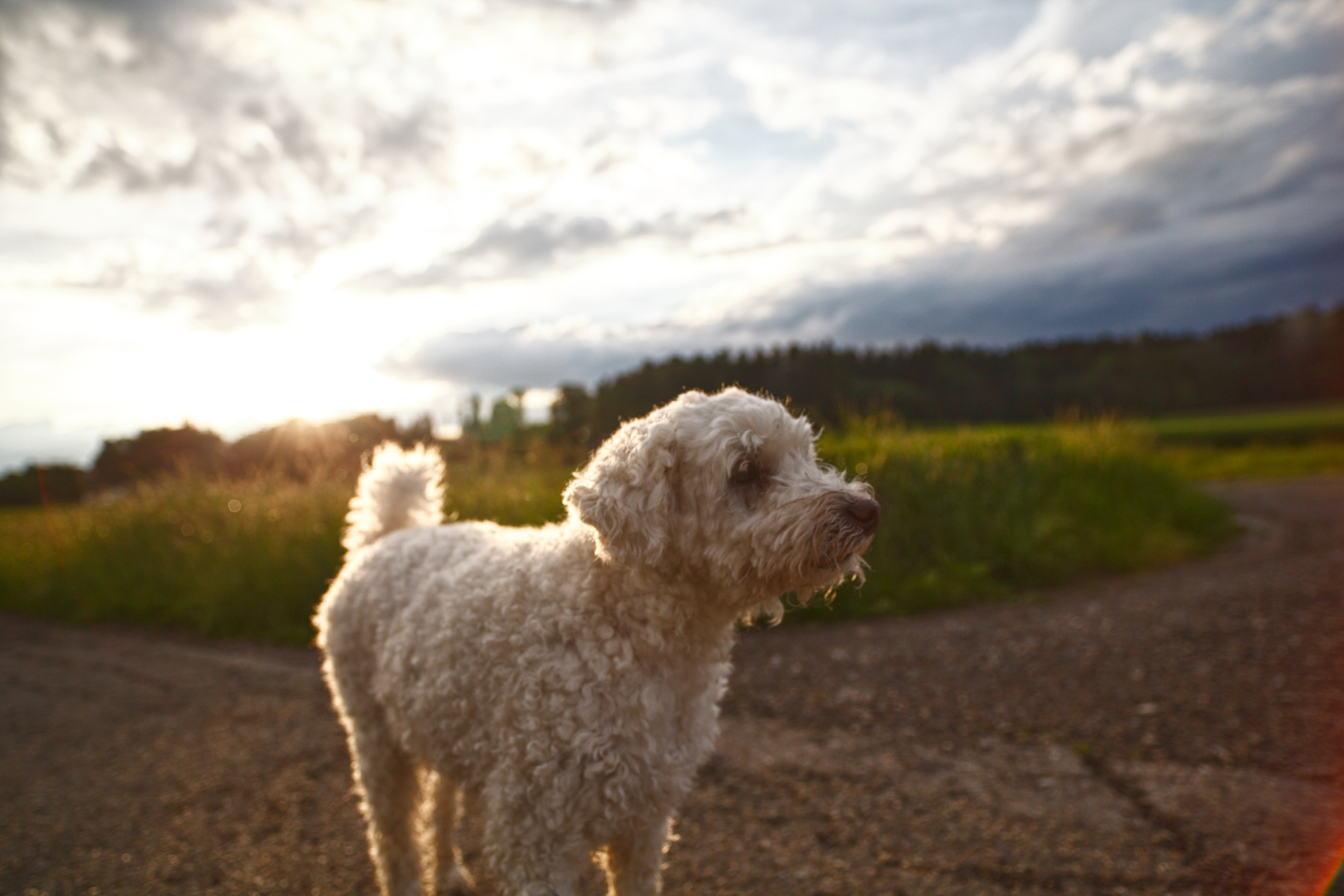 Curly-coated White Dog on Selective Focus Photo